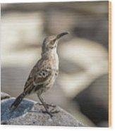 Galapagos Hood Mockingbirds Wood Print