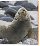 Galapagos Sea Lion Wood Print