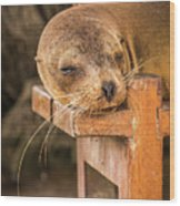 Galapagos Sea Lion Sleeping On Wooden Bench Wood Print