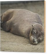 Galapagos Sea Lion Sleeps On Sandy Beach Wood Print