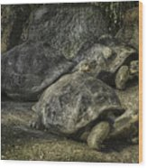 Galapagos Tortoise_hdr Wood Print