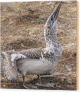 Gannet Chick 1 Wood Print