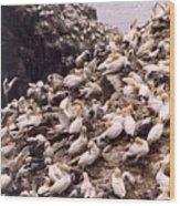 Gannet Cliffs Wood Print