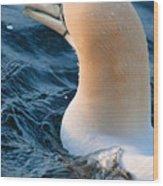 Gannet Swim 3 Wood Print