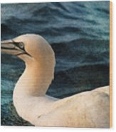 Gannet Swim Wood Print