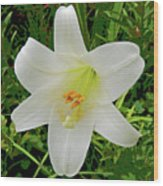 Garden Lily Posterized Background Wood Print