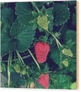 Ripening Garden Strawberries  Wood Print