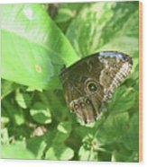 Garden With A Blue Morpho Butterfly With Wings Closed Wood Print