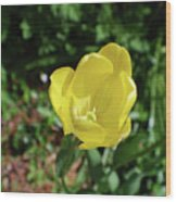 Garden With Beautiful Flowering Yellow Tulip In Bloom Wood Print