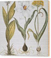 Garlic, 1613 Wood Print
