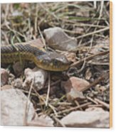 Garter Snake On The Trail In The Pike National Forest Of Colorad Wood Print