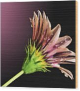 Gazania On Dark Background 2 Wood Print