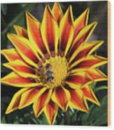 Gazania With Insect Wood Print