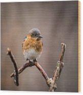Gazing Eastern Bluebird Wood Print