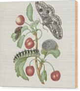 Gedaanteverwisseling Van De Nachtpauwoog  Maria Sibylla Merian  1679 Wood Print