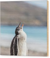 Gentoo Penguin Calling For Mother On Shingle Wood Print