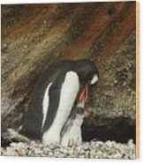 Gentoo Penguin Feeding Chicks Wood Print