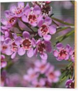 Geraldton Wax Flowers, Cwa Pink - Australian Native Flower Wood Print