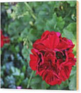 Geranium Flower - Red Wood Print