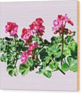 Geraniums In A Row Wood Print