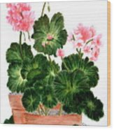 Geraniums In Clay Pots Wood Print