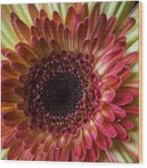 Gerbera Beauty Wood Print