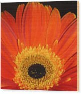 Gerbera Daisy - Glowing In The Dark Wood Print