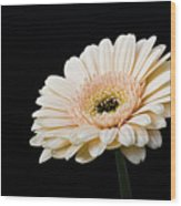 Gerbera Daisy On Black II Wood Print