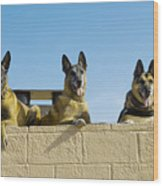 German Shephard Military Working Dogs Wood Print