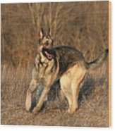 German Shepherd 1 Wood Print
