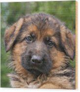 German Shepherd Puppy II Wood Print