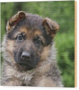 German Shepherd Puppy IIi Wood Print by Sandy Keeton