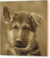 German Shepherd Puppy In Sepia Wood Print
