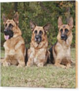 German Shepherds - Family Portrait Wood Print