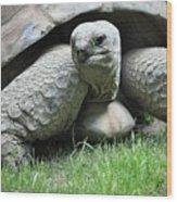 Giant Land Turtle Wood Print