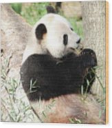 Giant Panda Bear Leaning Against A Tree Trunk Eating Bamboo Wood Print