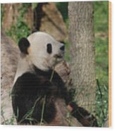 Giant Panda Bear Sitting Up Leaning Against A Tree Wood Print