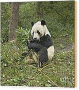 Giant Panda Eating Bamboo Wood Print