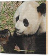 Giant Panda Feeding Himself Shoots Of Bamboo  Wood Print
