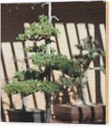 Giant Redwood Bonsai  Wood Print