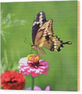 Giant Swallowtail Butterfly On Pink Zinnia Wood Print