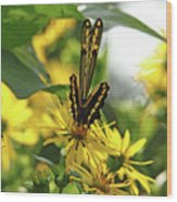 Giant Swallowtail Wings Folded Wood Print