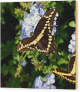Giant Swallowtails Wood Print