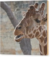 Girafe Head About To Grab Food Wood Print
