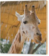 Giraffe In The Zoo. Wood Print
