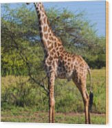 Giraffe On Savanna. Safari In Serengeti Wood Print