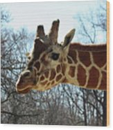 Giraffe Stretching For A View Wood Print