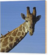 Giraffe With Oxpeckers Wood Print