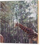 Giraffesgalore Wood Print