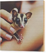 Girl Holding A Cute, Adorable And Curious Baby Sugar Glider Pet On Her Arm Wood Print